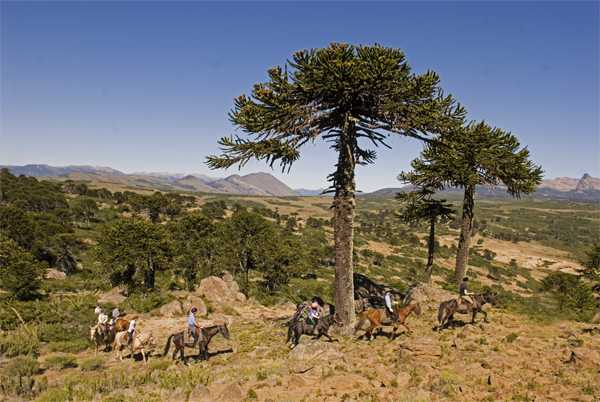 Monkey Puzzle Trees on the Pioneers of Patagonia Ride in Argentina