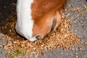 Horse Eating grain